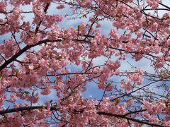 満開の桜並木で春の訪れを楽しむ♪~三浦海岸の河津桜