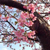 2015年、一足早い春の訪れ〜稲取温泉 雛のつるし飾りと河津桜の競演