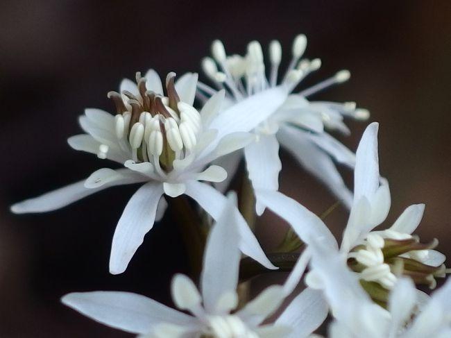 スプリング・エフェメラル(Spring ephemeral)は、春先に花をつけ、夏まで葉をつけると、あとは地下で過ごす一連の草花の総称。<br /><br />セリバオウレンは早春に花を咲かせますが、葉は枯れることなく年間を通してつけているのでスプリング・エフェメラルではないそうなんですが、まるで春を告げる可愛い妖精さんのようです。<br /><br />毎年、岐阜市の岐阜薬科大学の薬草園で、バイカオウレン、セリバオウレンの公開があるので、何時か行かなくてはと気にしておりました。<br />久しぶりに薬科大学のHPを開いてみると、公開中でしかもまだ両方見られるという。<br /><br />http://www.gifu-pu.ac.jp/yakusou/<br /><br />3月20日(金)午前10時〜午後4時まで ですので、気になる方はお急ぎください。<br />3月2日の観察会の写真がありますが、私が行ったのは10時でしたから、すいていてたくさん写真が撮れました。<br /><br />表紙の写真は、セリバオウレン