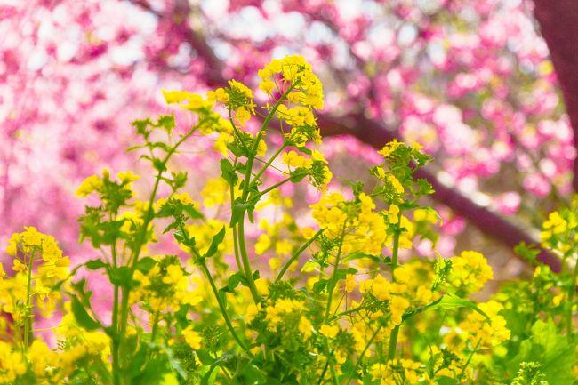 一足早い桜を見たくて、伊豆方面に河津桜を見に行きました。具体的には、河津町の「河津桜まつり」と南伊豆町の「みなみの桜と菜の花まつり」を見て回りました。都内からは思いのほか遠く、かつ日帰りで2箇所をはしごしたので、かなりの疲労を伴いましたが、この時期に桜を楽しめる機会として行ってみて正解でした。<br /><br />なお、この旅行記では前半の「河津桜まつり」を取り上げます。<br /><br />【回った場所】<br />★河津桜まつり(河津町)<br />☆みなみの桜と菜の花まつり(南伊豆町)
