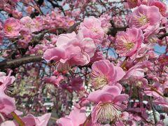 2015春、七分咲、名古屋市農業センターの枝垂れ梅(1/5):街路樹の枝垂れ梅