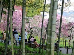 2015春、七分咲、名古屋市農業センターの枝垂れ梅(3/5):紅梅枝垂れ、白梅枝垂れ、唐梅枝垂れ、千鳥枝垂れ