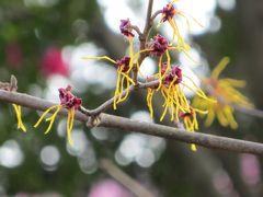 2015春、七分咲、名古屋市農業センターの枝垂れ梅(4/5):紅梅枝垂れ、白梅枝垂れ、マンサク、盆栽展