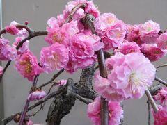 2015春、七分咲、名古屋市農業センターの枝垂れ梅(5/5):盆栽展、梅・木瓜・桜の盆栽