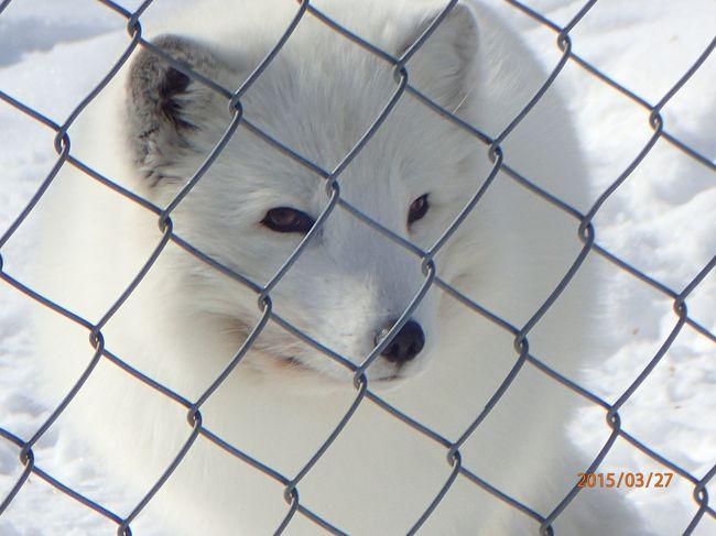 ■さて、三日目です。<br /><br />10:00サンタクロースホリデイビレッジをチェックアウト。<br />10:00スノーモービルビレッジの人に迎えに来てもらい、大荷物ごと世界最北端のラヌア動物園へ北極キツネに会いに!!!<br />お昼はラヌア動物園内のポーラーベアレストラン。<br />時間つぶしにロバニエミ鉄道駅からぶらり途中下車の旅。<br />19:50サンタクズホテルサンタクロースに集合後、シニータにあるガラスイグルー(スノーホテル内)へ行ってオーロラツアーに参加。曇りのち雪でオーロラ見られず。<br />夕食付プラン。<br />ガラスイグルーに宿泊