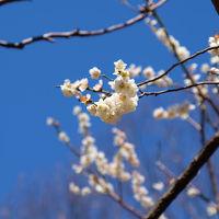 早春 代々木公園 上 梅の花咲いて