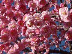陽光に誘われてしだれ梅も人出も最高潮♪ 平芝梅林公園梅まつり
