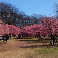 早春 代々木公園 中 河津さくら満開です