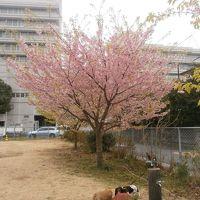 毎年の恒例行事・・・河津桜 2015 【帰路】