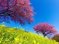 一足早い桜を求めて伊豆へ:みなみの桜と菜の花まつり編 (2015年2月)