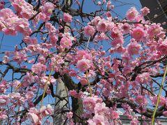 2015春、満開、名古屋市農業センターの枝垂れ梅(1/5):街路樹の枝垂れ梅