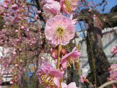 2015春、満開、名古屋市農業センターの枝垂れ梅(2/5):満開の紅梅枝垂れ、咲遅れの白梅枝垂れ