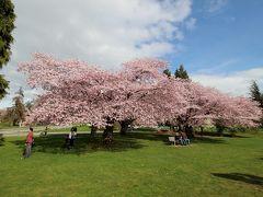 クイーン・エリザベス公園 4回目: 日本より一足早いお花見 五分咲きの桜&満開のコブシ