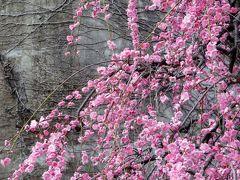 2015春、満開、名古屋市農業センターの枝垂れ梅(3/5):満開の紅梅枝垂れ、咲遅れの白梅枝垂れ