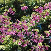 横浜山手の早咲き桜(神奈川)