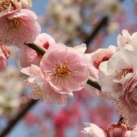 越生梅林 梅まつり  満開の梅の香に誘われて