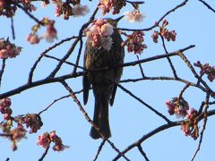 上野の桜が咲き始めています