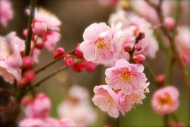 ひとりお花見部 水戸の偕楽園で梅のお花見