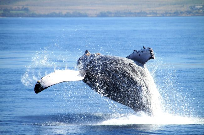 冬季にザトウ鯨がハワイ海域に繁殖活動のために来ることはしられている。<br />北太平洋のザトウ鯨は10数年前6000頭といわれていたが、ナチュラリストに言わせれば、最近の調査によると現在は20000頭以上に増えており、しかも年7パーセントの割で増えているらしい。そしてその6割がハワイ海域に訪れ、同時期には大体3000頭が訪れ、特に鯨のメッカであるマウイ、ラナイ、モロカイそしてカホラべェの4島に囲まれた海域はハワイ諸島のなかでも一番多くの鯨がいるらしい。そしてここは鯨の保護区になっている。因みに2016年現在沖縄でのザトウ確認個体数は32頭である。如何にマウイ海域に多いか理解されたい。<br /><br />毎年この時期鯨に会いたくてここに来る。Whale watchingは自然の動物が相手なので、日によって全く違ったパフォーマンスや表情を見せてくれる。鯨ウォッチャーにはこれがたまらないのだ。そのため半月以上のマウイ滞在中10日ぐらいはクルーズ船に乗る。現地で知り合い交流の続いている人々との再会は楽しみのひとつであり、貴重なひと時を過ごすことができる。<br /><br />また船上で偶然知り合った人との出会いは最初はお互い緊張しなかなか打ち解けはしないが、鯨を通して新たな交流が始まる。<br /><br />今年は彼らたちがどんな興奮を与えてくれるのか楽しみだ。さあ、乗船しよう。
