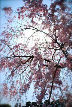 ひとりお花見部 2014④ 花まつりの翌日も京都でお花見 ー城南宮~墨染寺篇
