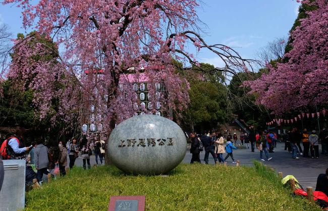 3月になるとそこここで桜の便り<br /><br />上野公園でも 寒桜 かわず桜と 咲いて<br /><br />いよいよ 公園の全体が桜の色に染まる 三月も末で<br /><br />広小路の入口の交番の枝垂れ桜も咲きました。<br /><br />帰宅後に ニュースで開花宣言が発表、、<br /><br /><br />上野恩賜公園<br />http://www.kensetsu.metro.tokyo.jp/toubuk/ueno/index_top.html