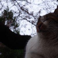 サクラとネコを愛で歩く。 ピンク色の世界には もうちょっと! ~上野・谷中編~