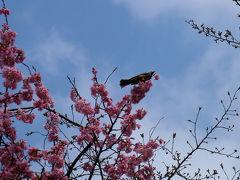 2015 上野恩賜公園 桜咲き 小鳥も訪れる 五条天神へ道