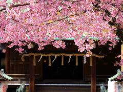 2015 上野恩賜公園 五条天神 満開の桜 竹の台広場 寒緋桜