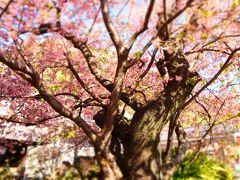 ちょっと早いお花見 -お天気に恵まれた平日に、念願の河津桜と河津七滝巡り♪