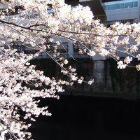 江戸川公園(江戸川橋駅)から椿山荘のさくら