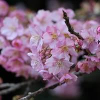 河津桜を見に行ってきました。