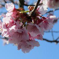 桜つつみ・早咲きの桜