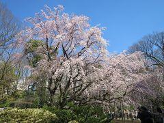 東京 花見散歩 前編(六義園、小石川後楽園のしだれ桜)