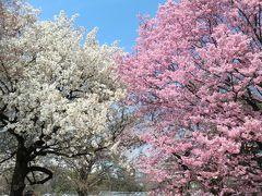 2015年3月 桜開花(新宿御苑、王子、浦和)