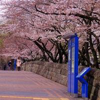 永田町は 桜満開 国立国会図書館 隼町 最高裁判所