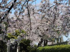 2015年 ソメイヨシノ発祥の地、染井霊園の桜