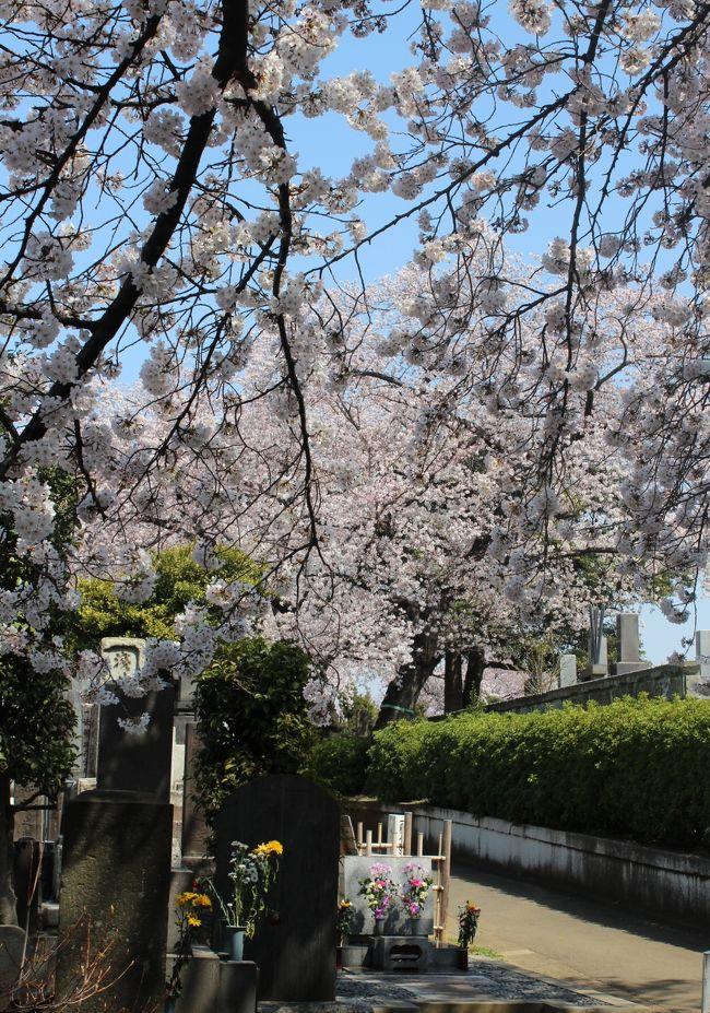 今年の桜の状況をお知らせします。<br />今年は一気に桜が咲きましたね。京都から帰ったばかりで遠出は無理なので、とりあえず近場の染井霊園に行ってみました。<br />ここは毎年、桜の季節には訪れている場所です。ほんとうに、ぽかぽかとした春の日差しを浴びて、きれいに満開でした。場所の情報等はほとんどなく、桜の写真ばかりですみません。<br />いつになく訪れる方も多い墓地でした。もちろん、墓地なのでシートを敷くこともなく、静かにそぞろ歩かれる人だけです。<br /><br />なお、昨年の3月31にも染井霊園の桜を撮影した旅行記があります。<br />こちら http://4travel.jp/travelogue/10872121<br /><br />昨年とほぼ同時期に咲いていますね。<br /><br />染井霊園の公式HPはこちらです →http://www.tokyo-park.or.jp/reien/park/index074.html
