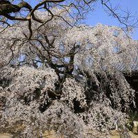 旅するイルカ♪ 桜だより 2015 Part2 大阪府 山中渓へ