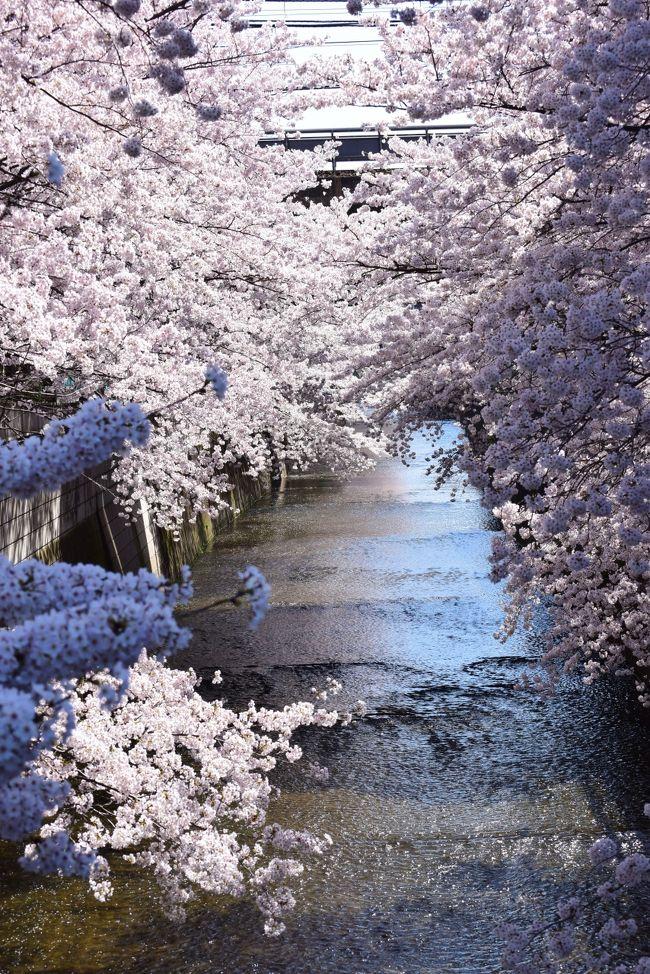 どうも~。ご覧頂きありがとうございます。<br /><br />2015年、春。<br /><br />急に暖かい日が続き、今年の桜はあっという間に満開になりました。<br />いつ花見に行こうかと週間天気予報をみていたら、休みの日はことごとく天気悪そうなんですけど。。。<br /><br />これは困った。どこか見に行かないと(汗焦<br />昨年は雨の中大変でしたので・・・。<br /><br /><br />そんな三月最終日、花見するなら今日しかないでしょ!ってくらいの桜満開に合わせた好天日。<br /><br />これは昼休みに行くしかない!<br /><br /><br /><br />というわけで、職場近くの神田川へ行ってみました。<br />まったく知られていないと思いますが、桜を見ながらのんびり散歩するには最高の場所だと思いますよ。<br /><br />どうぞご覧くださいませ~。<br /><br /><br />注)おんなじような桜の写真がだらだらと続きますm(_ _)m<br />
