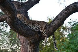 イブニングサファリでついにビッグ5クリア   貫録のライオンとゴージャスで美しすぎる豹との遭遇に感動