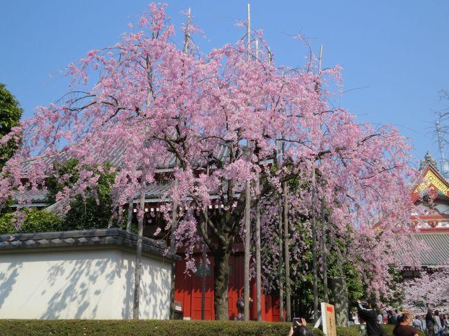 東京台東区さくら祭り・・かっぱ橋道具街と下町の聖地浅草をめぐります。
