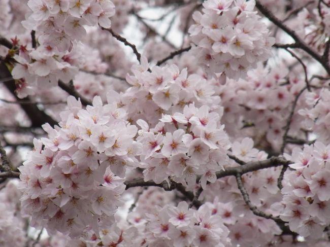 3月23日に東京の開花宣言が発表され、その2日後に上野公園に行ってみました♪<br />入り口の早咲きの桜は咲いていたものの、ソメイヨシノの並木道はまだ数輪のお花を付けただけ...。<br />即、退散となりました(-_-;)<br /><br />後日、4トラメンバーのこあひるさんが上野公園に行かれた時の旅行記を拝見して、やっぱり満開の桜が見たくなった私。<br />せっかく予定がないお休みの日があったので、リベンジしに行って来ました。<br />時折、小雨がパラつくあいにくのお天気でしたが、もっさもさにお花を咲かせた満開の桜並木を見る事が出来ました♪<br />