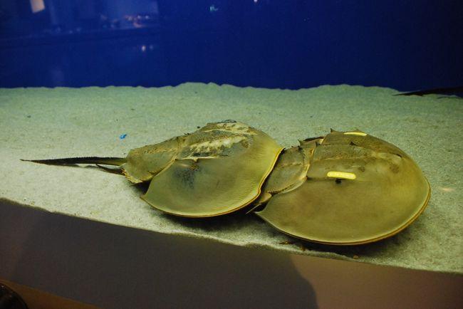 笠岡の生きた化石「カブトガニ」に会いに行きます。<br /><br />そして瀬戸内海の島巡りが始まります。<br />