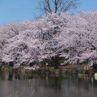 満開の善福寺公園周辺散歩