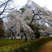 春なので~京都にも桜が咲きました。