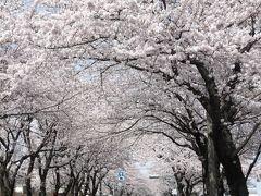 桜を見に綾瀬、伊勢原、秦野へ