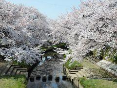 春爛漫♪鴻巣・元荒川に咲き誇る満開の桜とB級グルメ・川幅うどん
