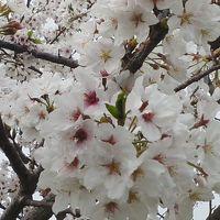 近場の桜が満開になったので ※鹿児島県垂水市