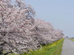 超穴場の桜