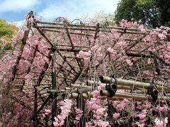 京都の桜☆*:.。.御香宮。桜満開、得した気分♪